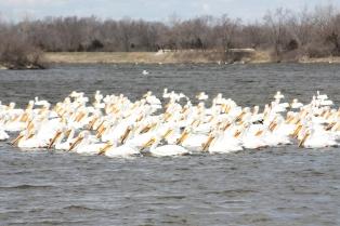 White Pelicans on Easter Lake. Photo Karl Schilling.