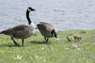 Geese 2010 012