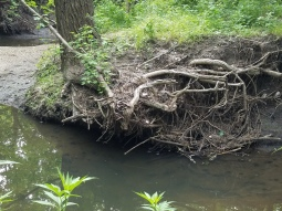 before - Bank erosion has caused tree roots to become exposed