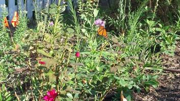 garden + monarch