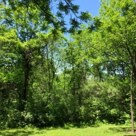 Before, invasive species suffocate trees and block out all sunlight for native grasses to grow.