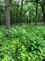 Native wildflowers grow in the woodlands after invasive species removal in Easter Lake Park.