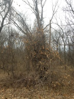 Invasives suffocate trees in Easter Lake Park