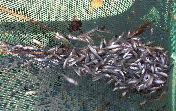 Walleye fingerlings from rearing pond